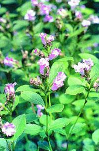 http://www.munnar.com/neelakurunji/2005091100470801.jpg